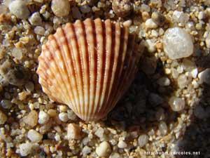 Foto de la concha de la imagen anterior, pero hecha desde unos 2,5 centímetros.